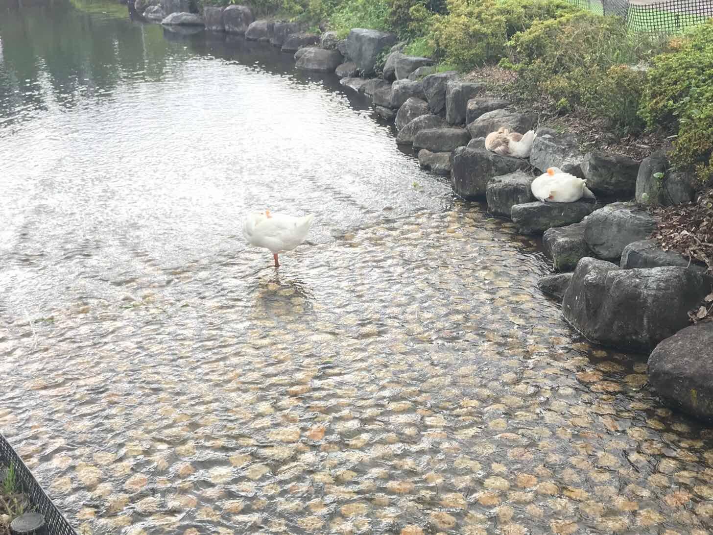 川場田園プラザ-アクティビティ-白鳥